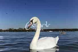 swan on blue water