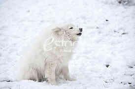 Sibirski Samojed