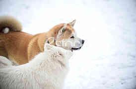 Sibirski Samojed i Akita